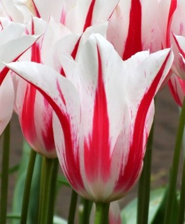 Tulip Marilyn Lily Flowering Tulips Tulips Flower Bulb Index Bulb Flowers Tulips Flowers Spring Flowers