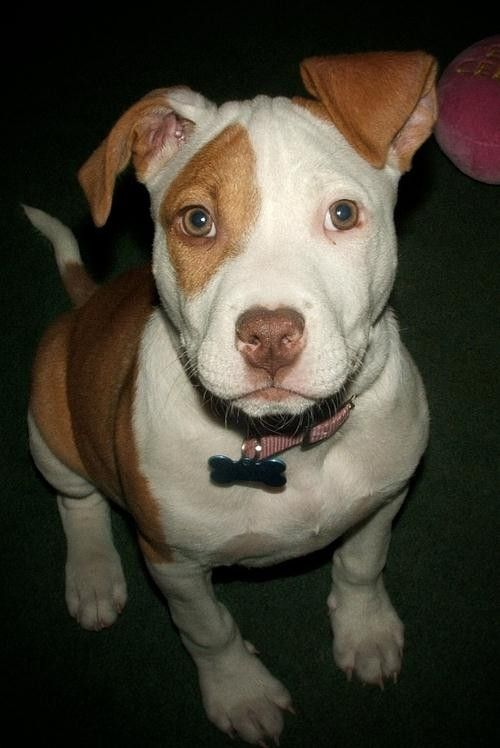 Gallery For Cute Pitbull Dog Quotes Pitty Animais