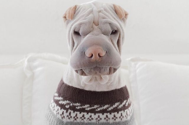 Adorably Wrinkly Shar Pei Dons Delightful Costumes With A Stoic Expression Pet Costumes Wrinkly Dog Funny Dogs