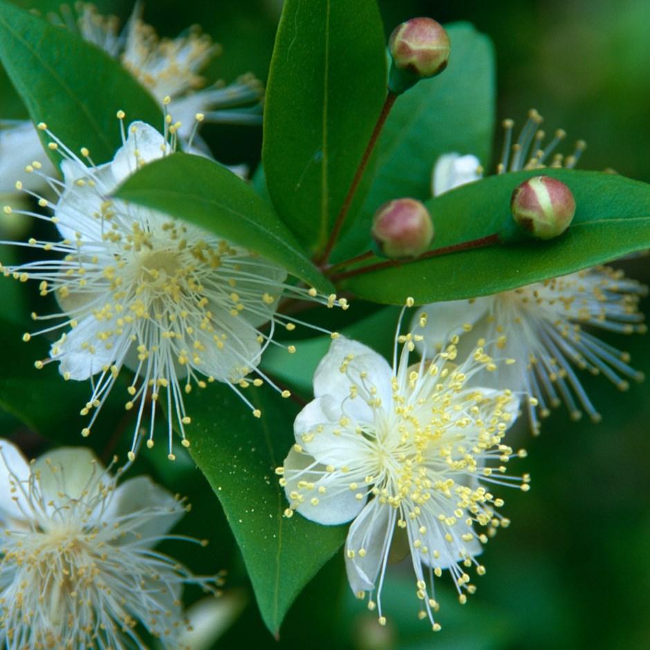 Buy Common Myrtle Myrtus Communis Myrtus Communis 19 99 Delivery By Crocus In 2020 Myrtle Flower Fragrant Flowers Plants