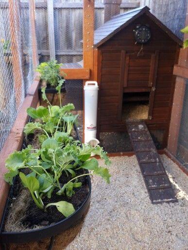 Chicken Run Garden - Green stuff to keep them stimulated and healthy