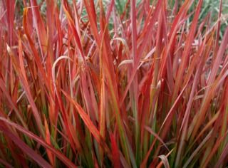 foto de Imperata cylindrica Red Baron jardin Pinterest