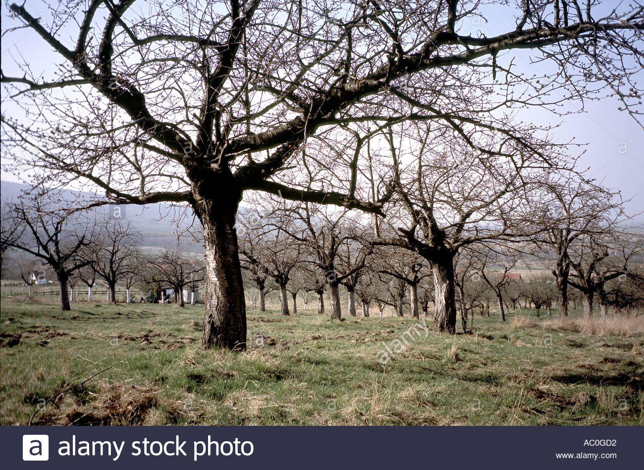 Old Cherry trees in winter Prunus avium Stock Photo, Royalty Free ...