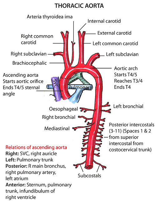instant anatomy - thorax - vessels - arteries - ascending aorta, Human Body
