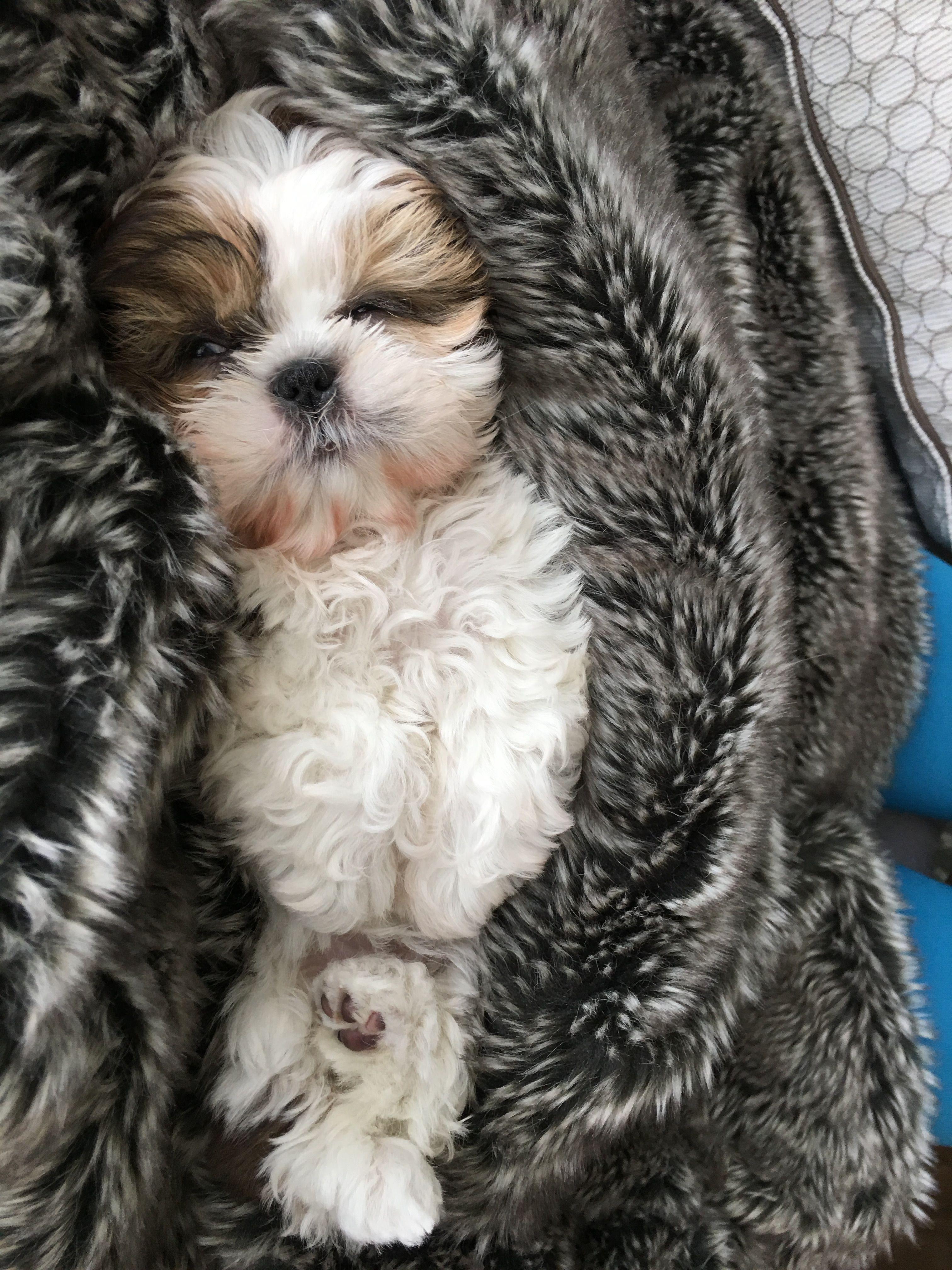 Pin By Brenda Cardwell On Mandy Shih Tzu Shih Tzu Puppy Dogs