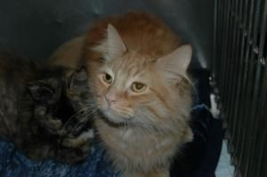 Adopt Harry On Cats And Kittens Long Haired Cats Orange Cat