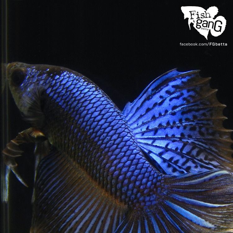 Live Betta Fish Male Black Orchid Halfmoon Aquarium Fish For Sale Betta Fish Breeding Betta Fish