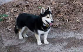Corgi Husky Mix Puppies For In