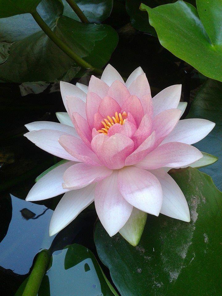 From Erdek /Turkiye Wonderful flower #lotusflower