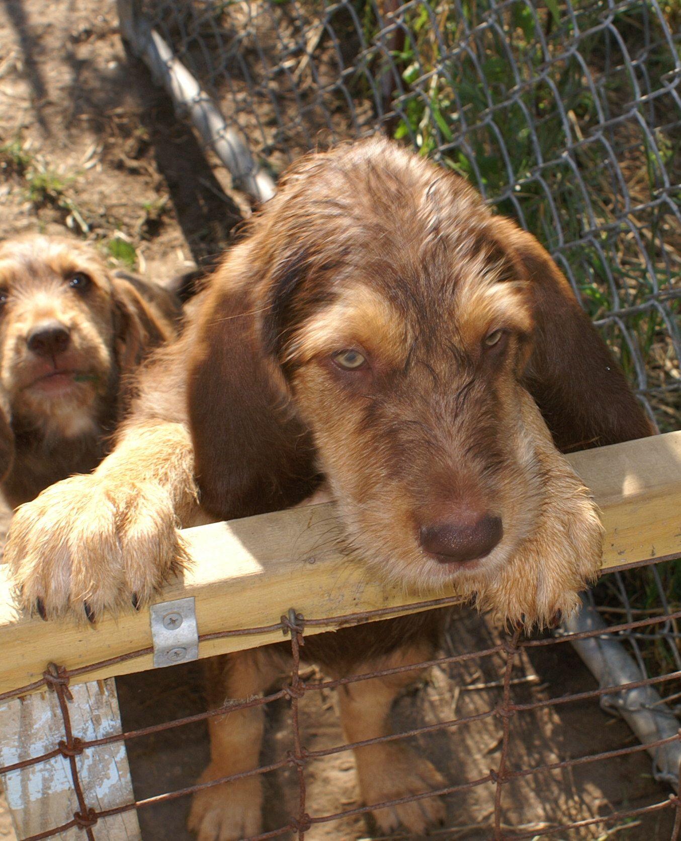 Otterhound Puppy   Otterhound, Puppies, Dogs