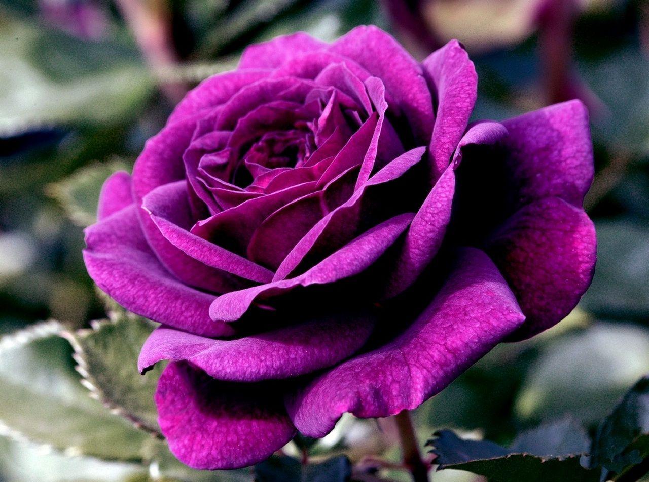 93+ Gambar Bunga Ros Paling Baru