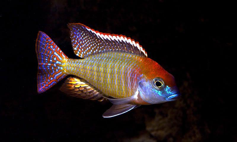 Lethrinops Red Cap Cichlids African Cichlids African Cichlid Aquarium