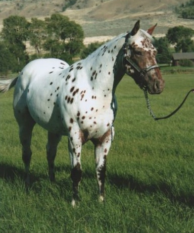 Leopard Appaloosa Gelding Accent Ranch | My Love for Spotted