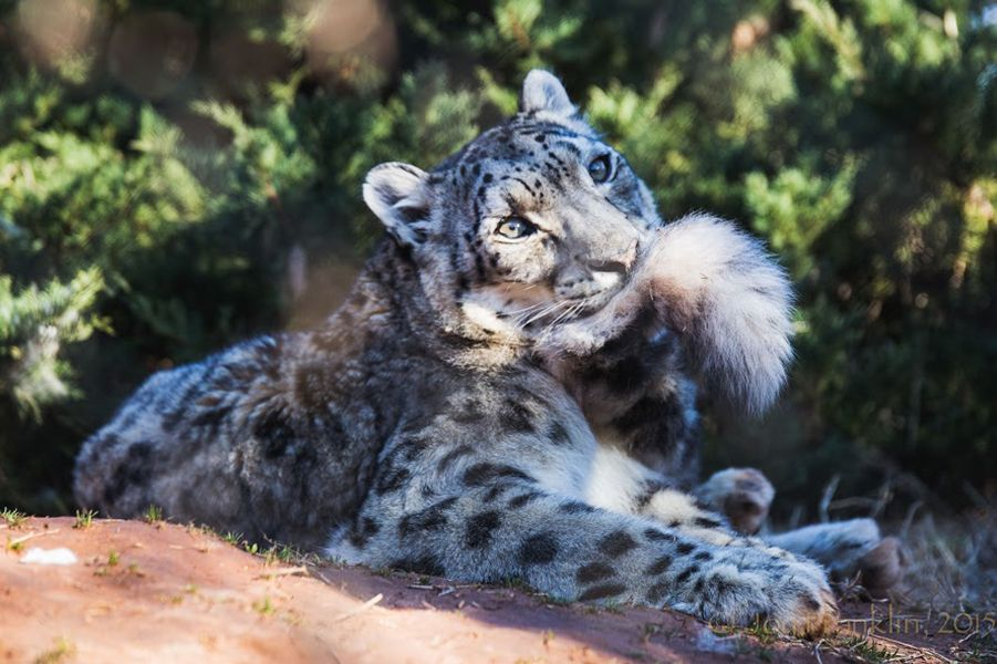 Pin On Snow Leopards