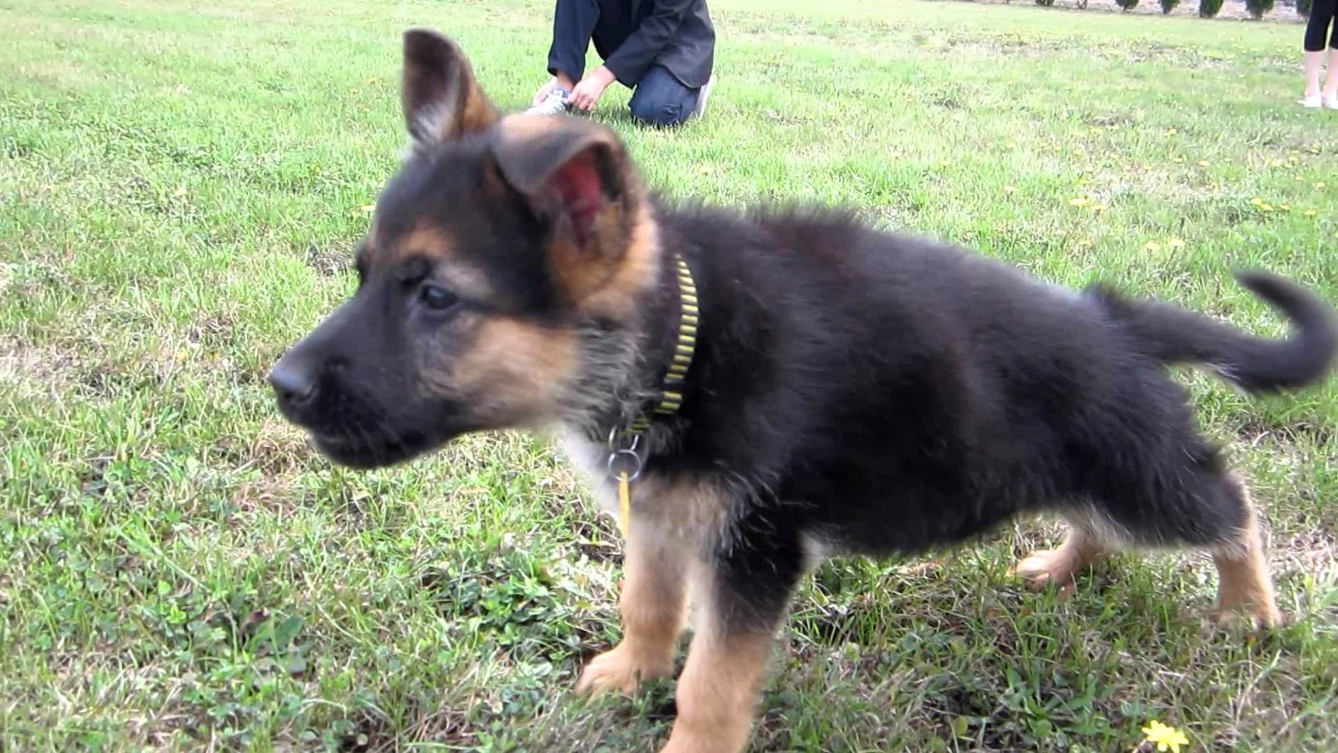 Video A Cute Puppy Being Brave German Shepherd Puppies