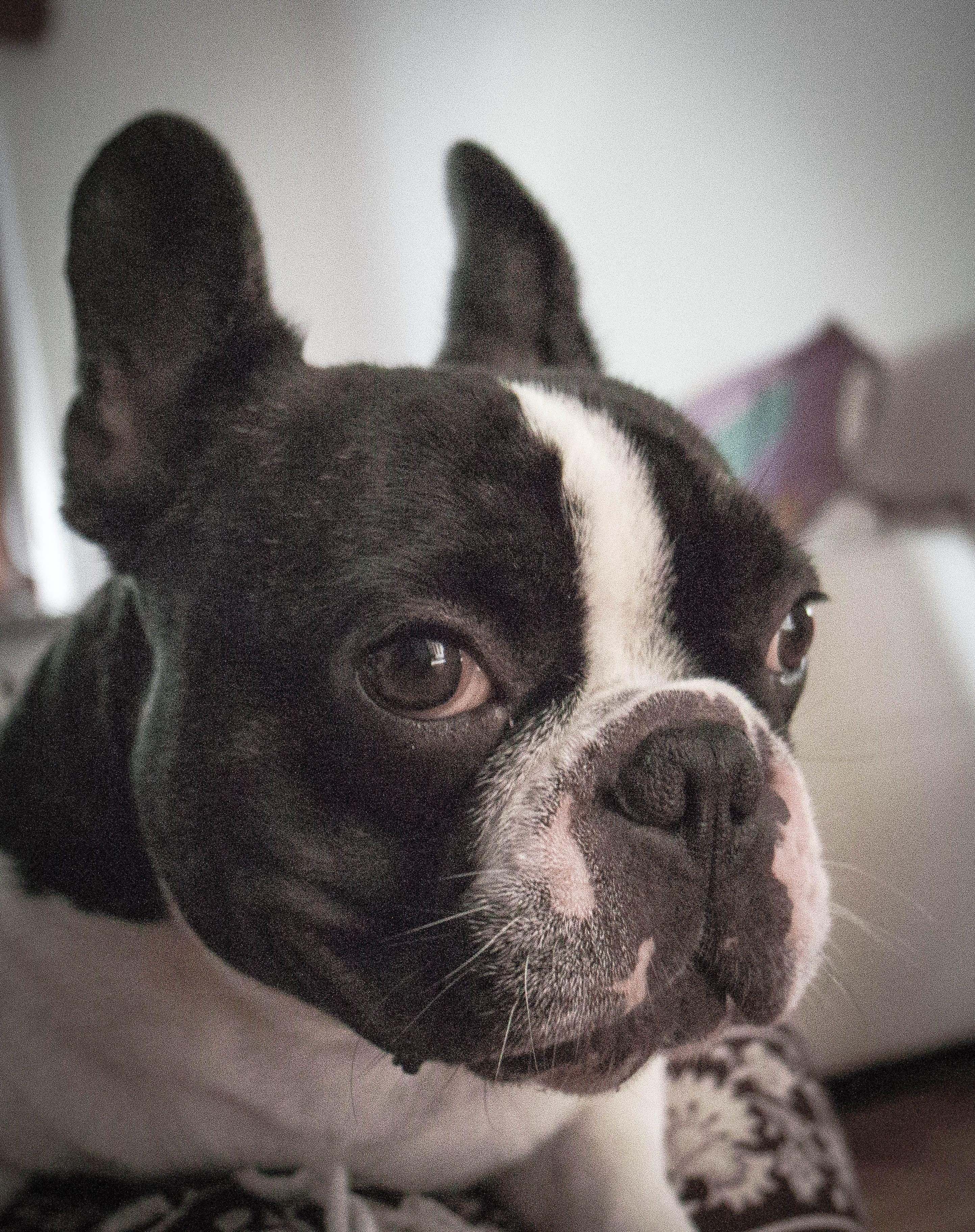 El Dogo