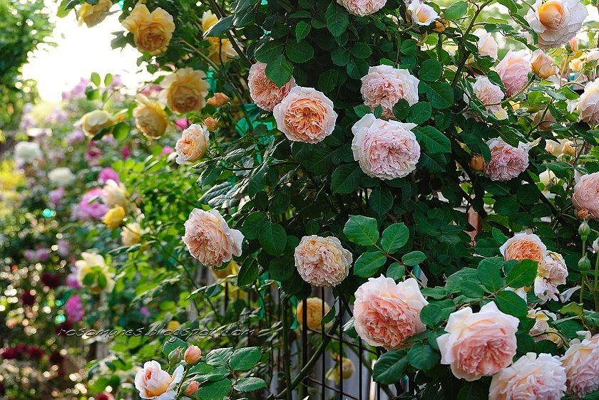 Crown Princess Margareta--English Rose from Rosomaneblogspot