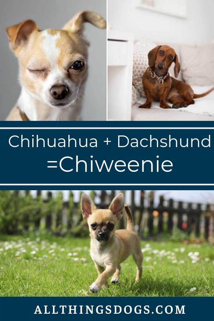 Chiweenie The Ultimate Chihuahua Dachshund Mix Owners Guide All Things Dogs In 2020 Chiweenie Chiweenie Dogs Dog Breeds