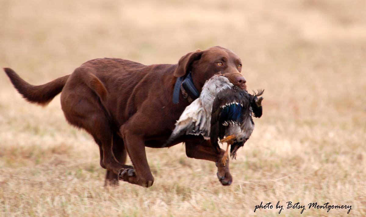 Chesapeake Bay Retriever Hunting Texas Retriever Training For