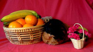 Myra posing for a post on vegetables that guinea pigs can eat EVERYDAY!