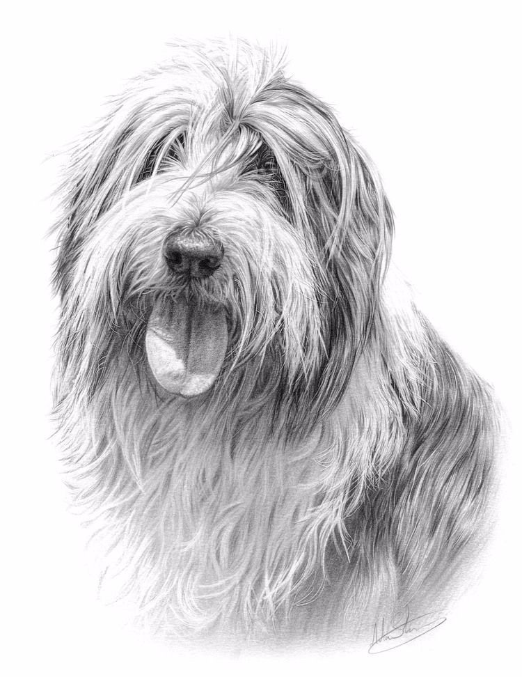 Bearded Collie — Nolon Stacey