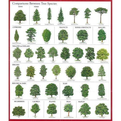 Comparisons between tree species good education pinterest for Garden trees types