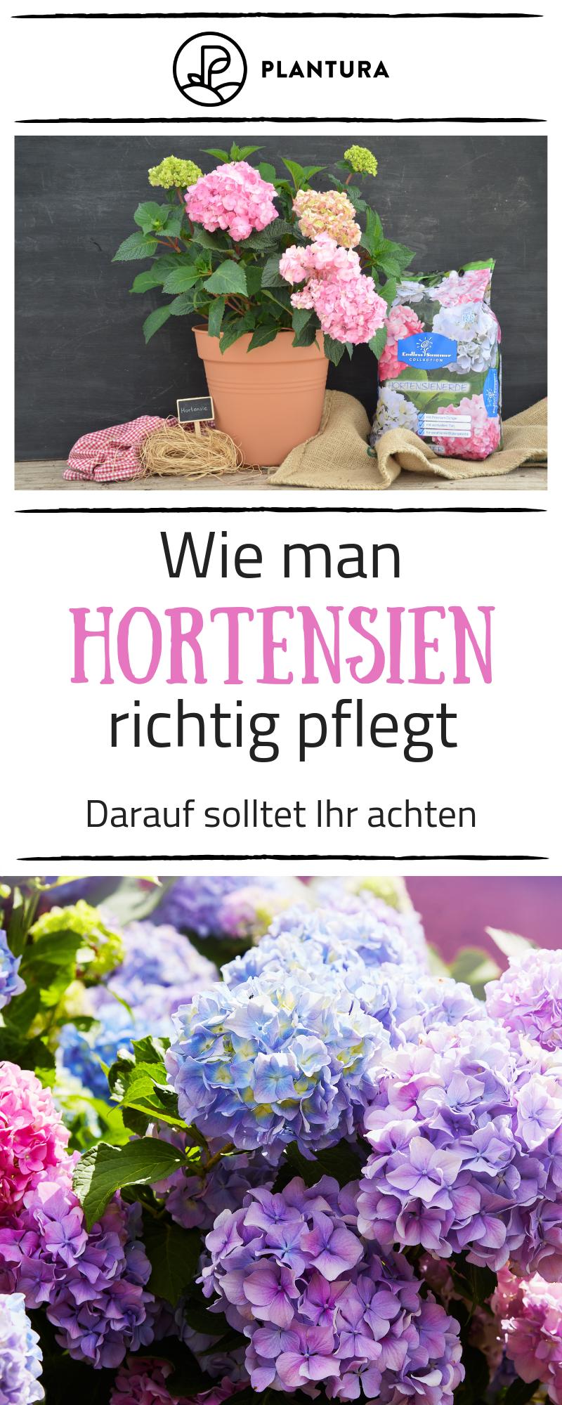 Pflege Von Hortensien