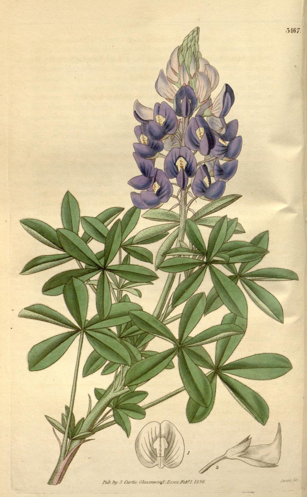 V 63ser 2v 10 1836 No 3458 3541 Curtiss Botanical
