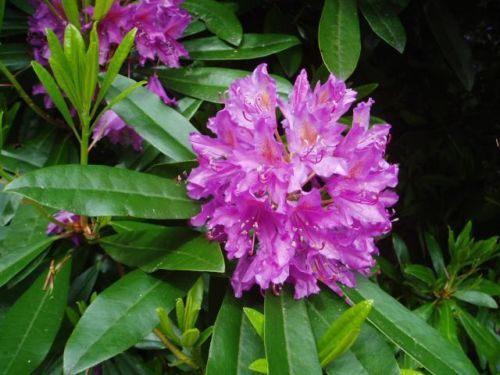 Rosebay Rhododendron Rhododendron Maximum Seeds Ebay Flowering Shrubs For Shade West Virginia State Flower Shade Shrubs