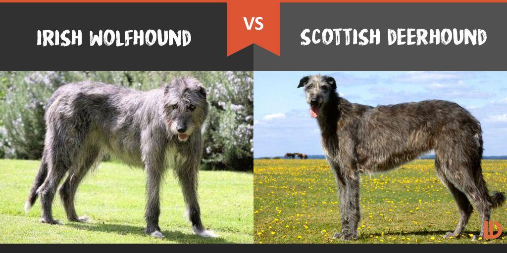 Irish Wolfhound Vs Scottish Deerhound What S The Difference