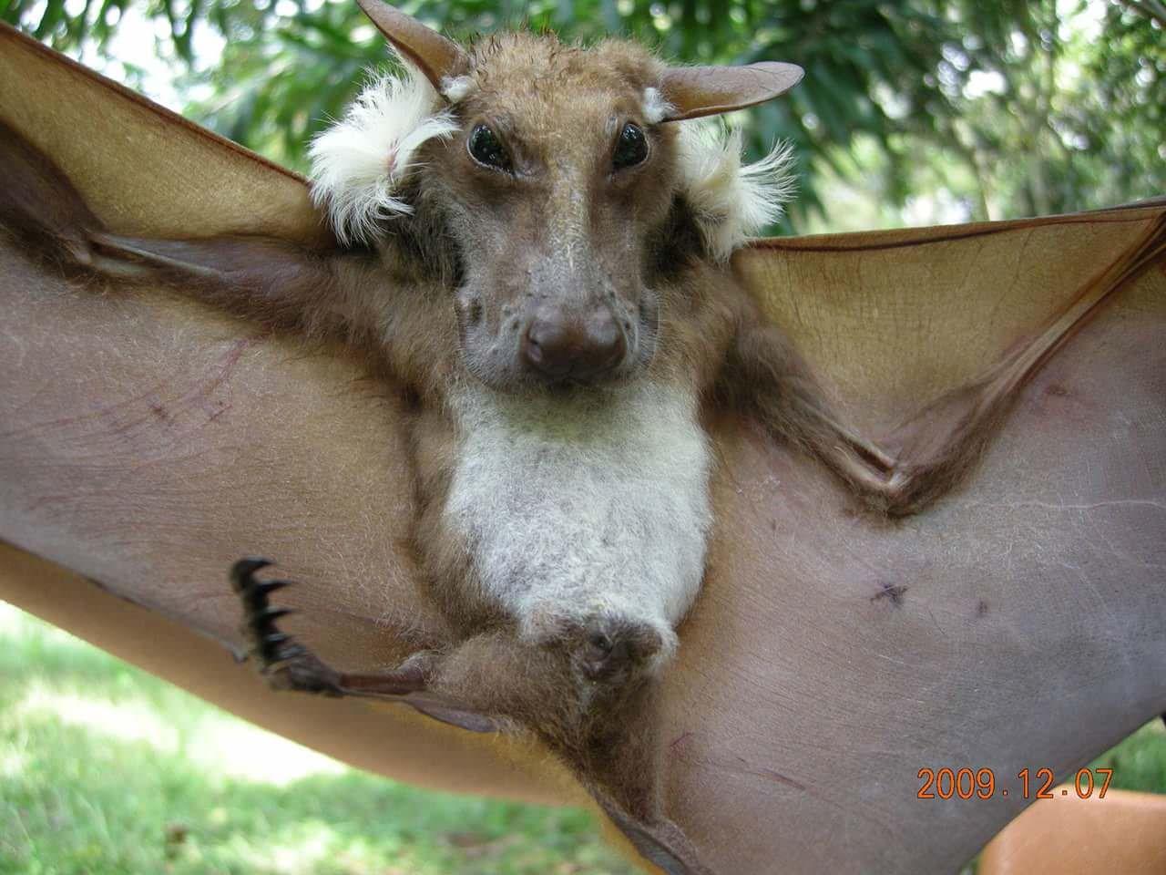 The Nightmarish African Buttikofer Epaulatted Fruit Bat Wtf
