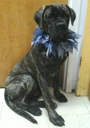 Please Make My Life Better Is An Adoptable Cane Corso Mastiff Dog In Toledo Oh Zion Is A 7 Month Old P Cane Corso Cane Corso Puppies Mastiff Dogs