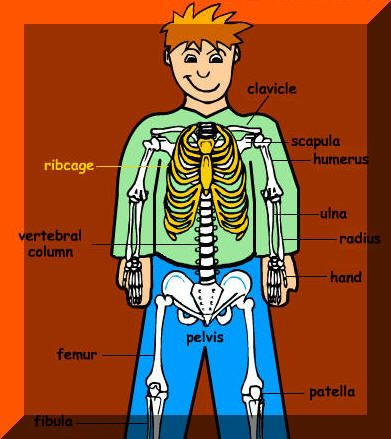 Learn the Names of your Bones | Skeletal, muscular system ...