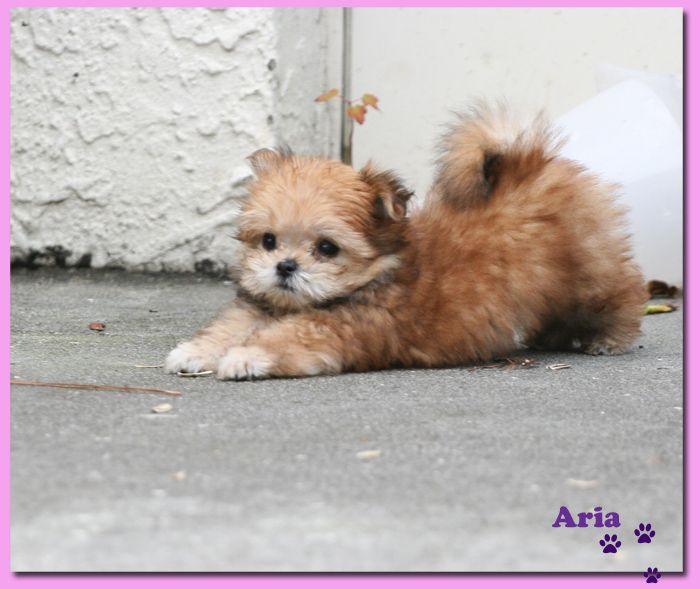 Tampa Non Shedding Toy Puppy Tampa Fl Map Dog For Sale Puppies Miki Dog Pets