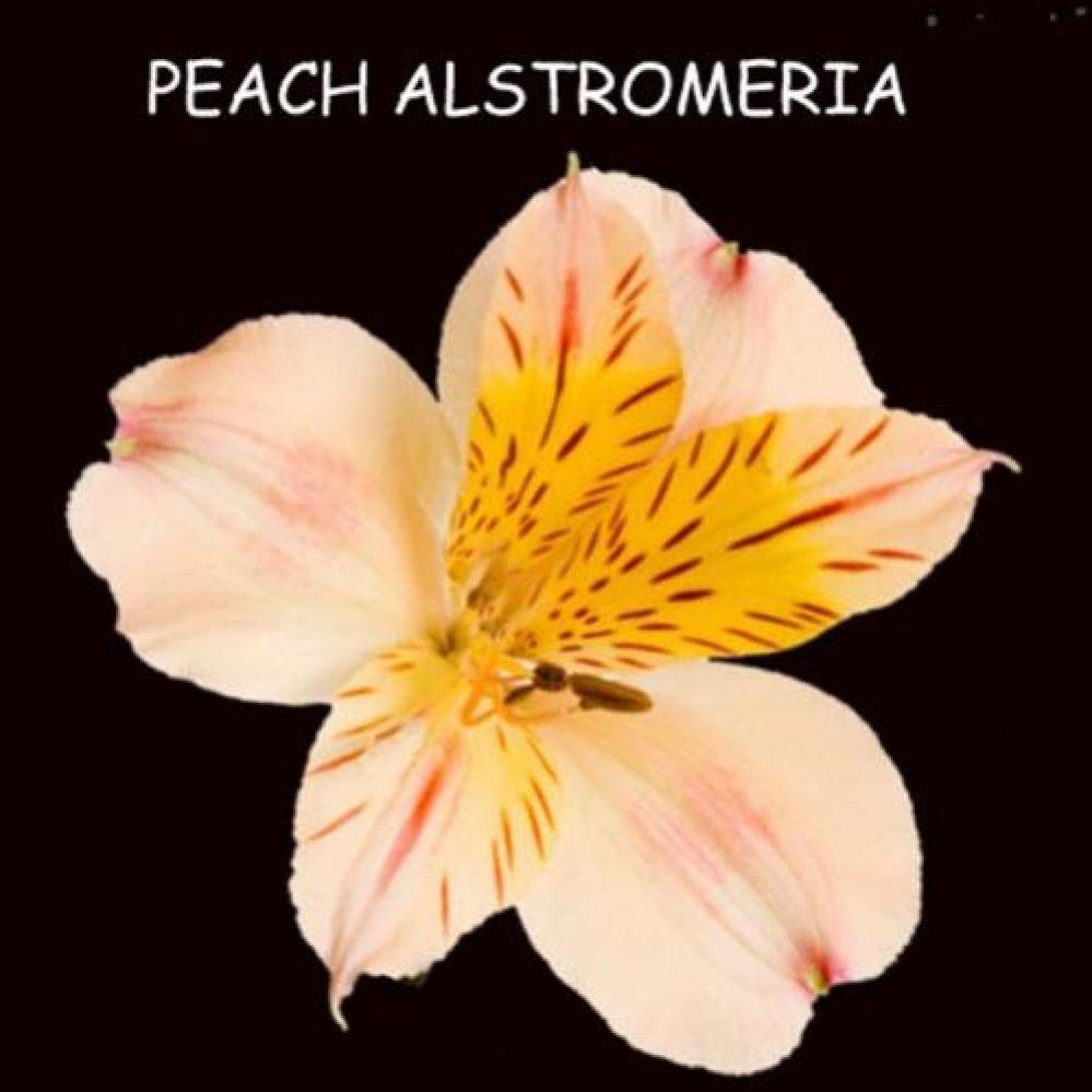 Bulk discount flowers peach alstromeria tiffanys wedding bulk discount flowers peach alstromeria izmirmasajfo