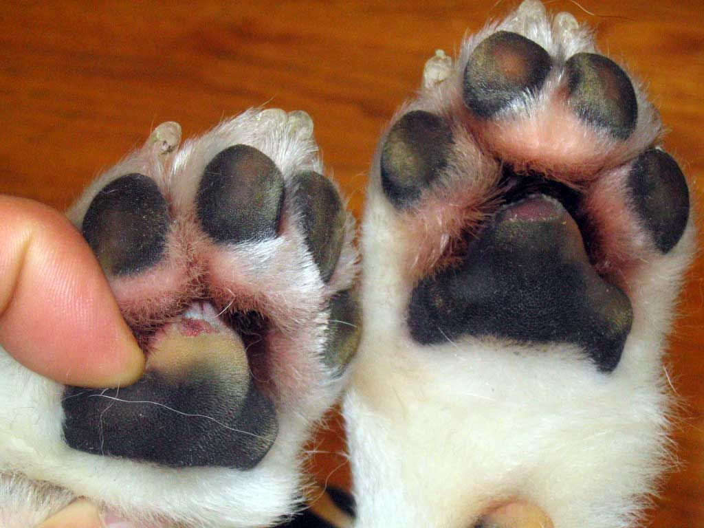 Burned Dog Paws How To Naturally Treat Your Dog S Injured Paws Dog Paw Pads Dog Pads Dog Paws