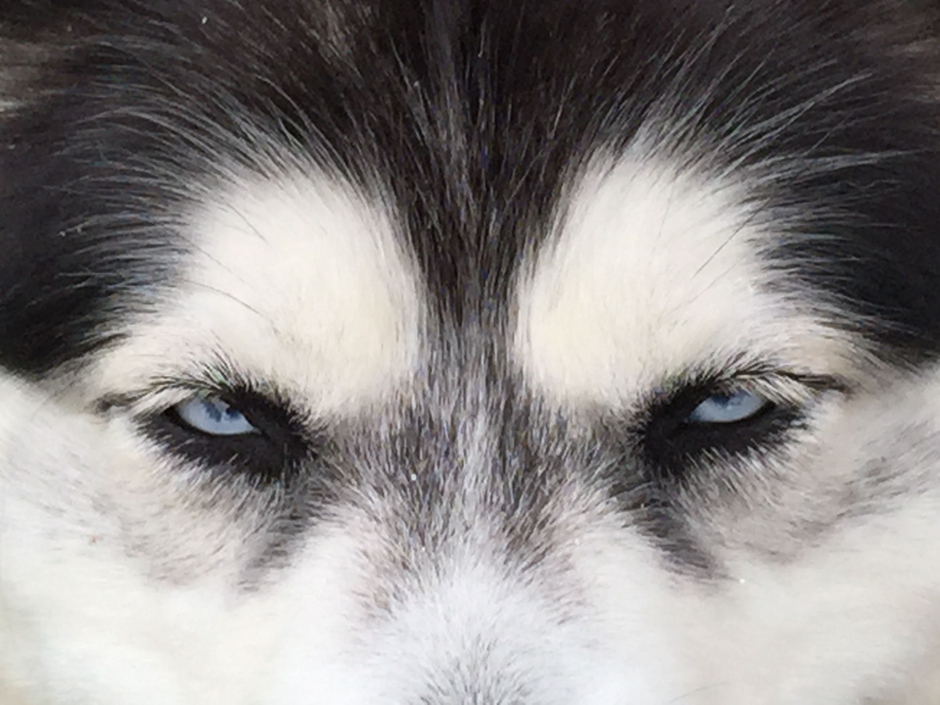 Pin by rob heijink on husky and pets pinterest