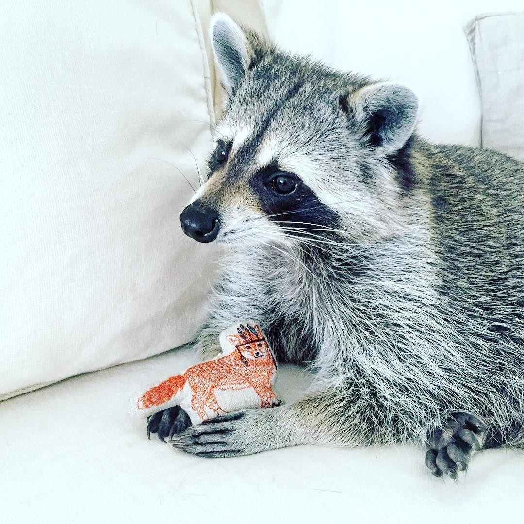 Mommy meet my new friend! pumpkintheraccoon raccoon