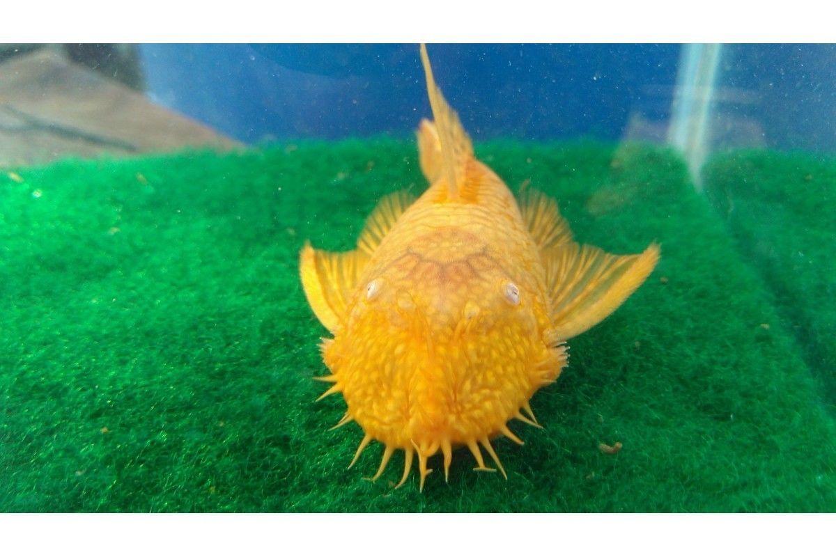 Albino Bushy Nose Short Fin Pleco Plecostomus Species Catfish
