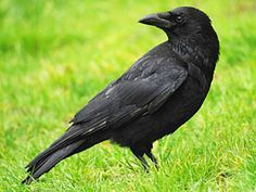 Crow Spirit Animal Animaux Totems Corbeau Animaux