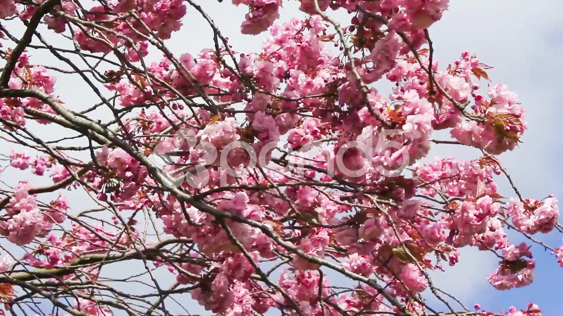 Beautiful Spring Japanese Cherry Tree Blossom Stock Video 49911933 Hd Stock Footage Japanese Cherry Tree Cherry Tree Beautiful