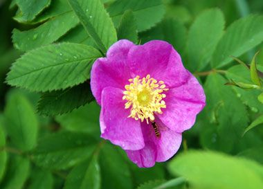 Wild Prairie Rose Iowa State Flower This Flower Was Chosen In