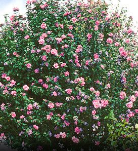 Rose Of Sharon Hibiscus Syriacus Great As Flowering Hedge White Pink Red And