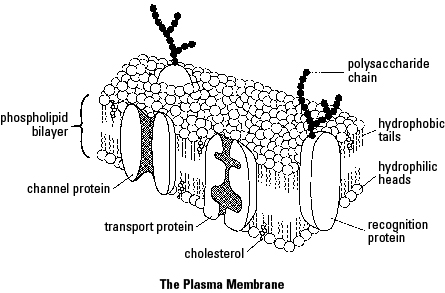 AP Biology Unit 2: The Cell and Cell Membrane Cheat Sheet
