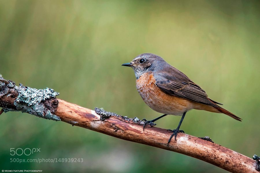 Rock Thrush (juvens) by MomoNaturePhotography