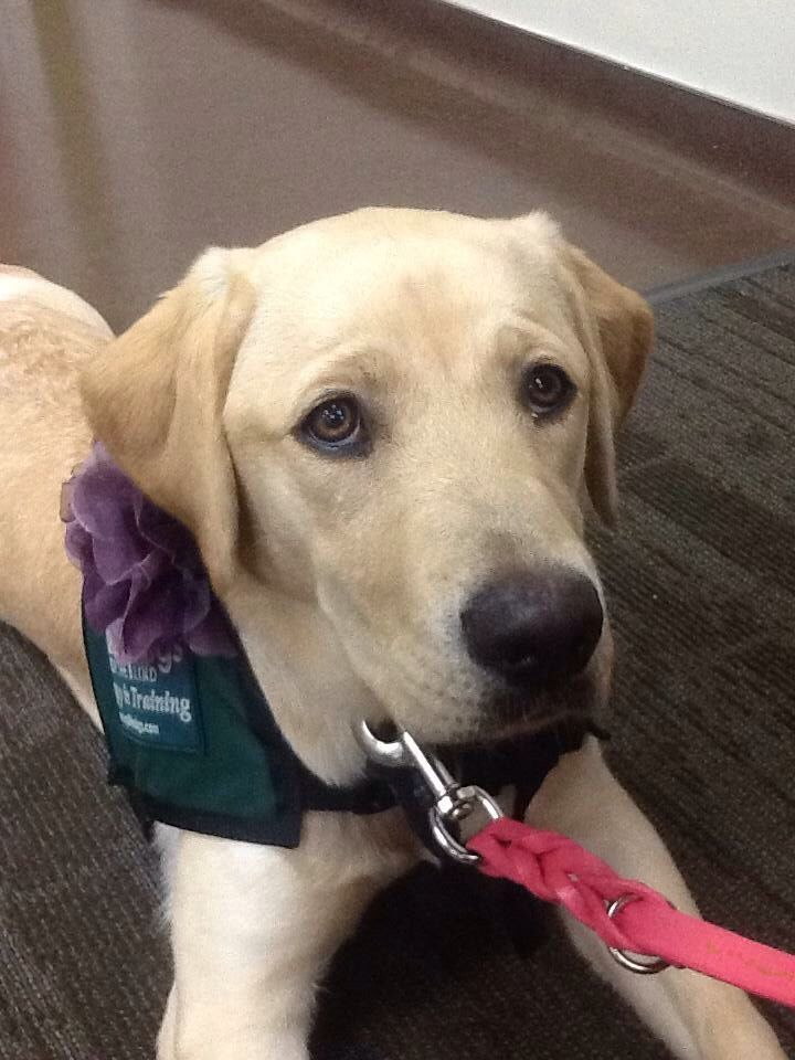 Trivia Guide Dog Puppy In Training Guide Dog Service Dogs