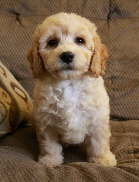 Puppies For Sale Cockapoo Puppies Puppies Cockapoo Puppies For