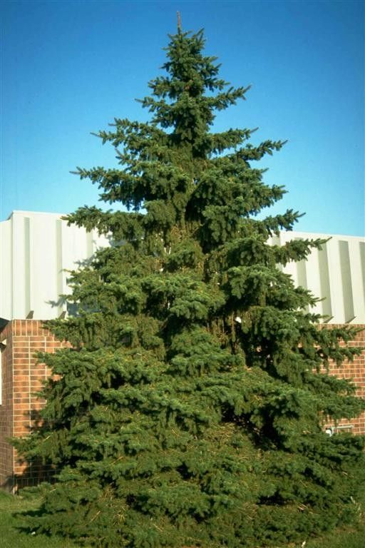 Wind Block Ideas For Patio: Pine Tree For Wind Block