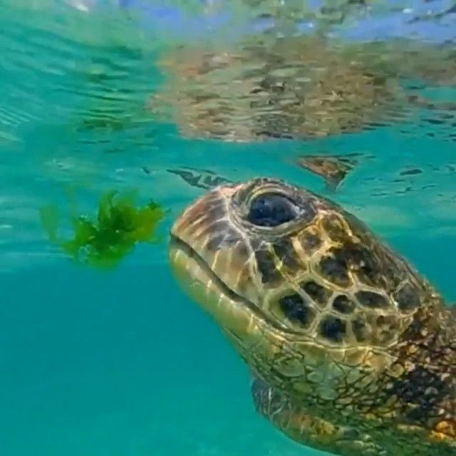 "VIDEO ""honu video from this morning. #hawaii #clarklittle"""