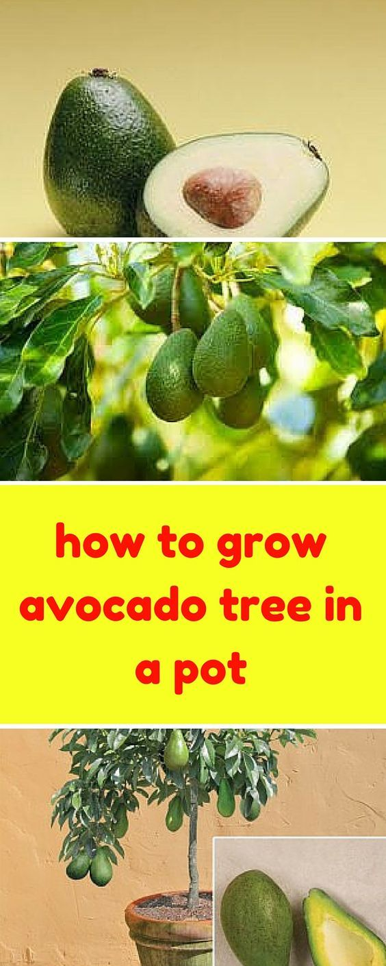 Small Of Indoor Avocado Tree